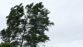 Birch tree in strong wind storm stock video footage