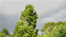 Birch tree on strong wind. Tropical storm. With dramatic clouds stock video footage