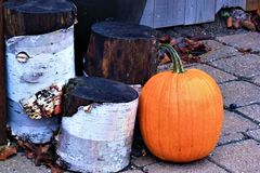 Pumpkin and Birch Tree Stumps royalty free stock images