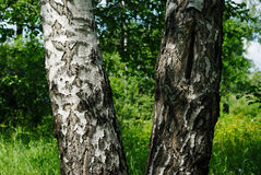 A birch tree in summer. A double-trunk Royalty Free Stock Image