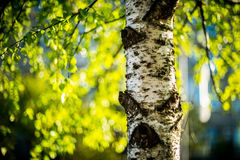 Birch tree. Summer background with bokeh royalty free stock photography