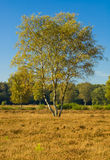 Birch tree in summer, Netherlands Stock Image