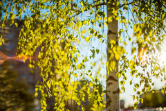 Birch tree and sun royalty free stock images