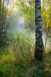 Birch tree in a sun. Little misty morning royalty free stock image