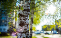 Birch tree and sun shine stock images