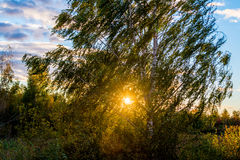 Birch tree at sundown Royalty Free Stock Images