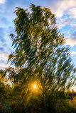 Birch tree at sundown Royalty Free Stock Image