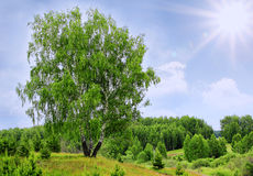 Birch tree and sunlight cloudy sky Stock Photo