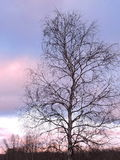 Birch tree in sunset colors sky background Stock Photo