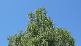 Birch Tree Swaying In the Wind - Blue Sky. Clear blue sky in the background stock footage