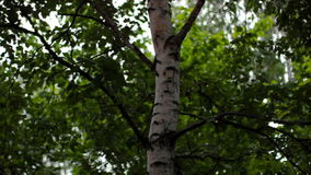 Birch tree sways in the wind stock video