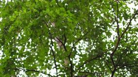 Birch tree sways in the wind stock video