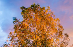 Birch tree swinging leaves in wind Stock Photography