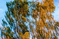 Birch tree swinging leaves in wind Stock Photo