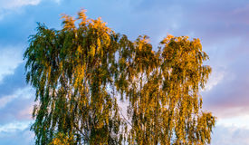 Birch tree swinging leaves in wind Royalty Free Stock Photography