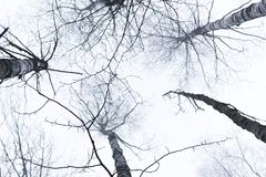 Birch tree tops photographed from below, with bright sky above them. stock image