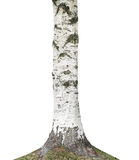 Birch tree trunk Stock Images
