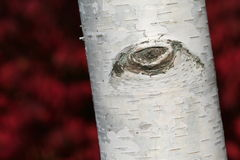Birch Tree Trunk. Trunk of birch tree close-up.  The red patterned background is a burning bush Royalty Free Stock Photo