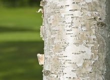 Birch Tree Trunk Stock Photo