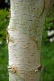 Birch tree trunk Royalty Free Stock Photography
