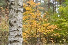 Birch tree trunk in a colorful forest Stock Images