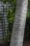 Birch Tree Trunk Detail Stock Image