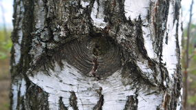 Birch tree trunk with eye Stock Photography