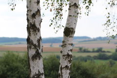Birch. Tree trunk with foliage vector illustration