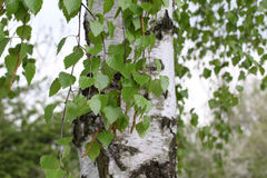 Birch. Tree trunk with foliage royalty free illustration