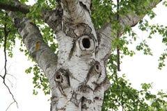 Birch. Tree trunk with foliage stock illustration