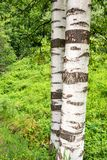 Birch tree trunk on green background Stock Photos