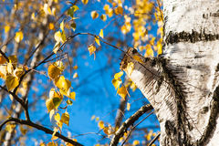Birch tree trunk and leaves in autumn. White birch tree trunk or body, branches and yellow leaves in autumn against the background of blue sky. Play of blue Stock Images