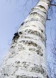 Birch Tree Trunk Royalty Free Stock Photos