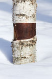 Birch Tree Trunk in the snow. Royalty Free Stock Photography
