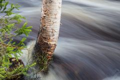 Birch tree trunk in a flooding river. A birch tree trunk surrounded by the rising water of a flooding river royalty free stock images