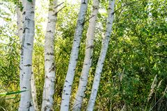 Birch tree trunk texture in direct sunlight. In a bright summer day with sun shining through the leaves. landscape shadows in foreground stock images