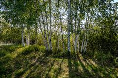 Birch tree trunk texture in direct sunlight. In a bright summer day with sun shining through the leaves. landscape shadows in foreground royalty free stock photos