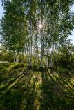 Birch tree trunk texture in direct sunlight. In a bright summer day with sun shining through the leaves. landscape shadows in foreground royalty free stock photography
