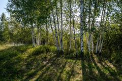 Birch tree trunk texture in direct sunlight. In a bright summer day with sun shining through the leaves. landscape shadows in foreground stock photo