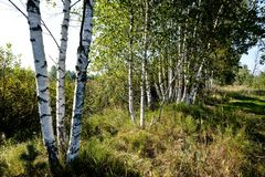 Birch tree trunk texture in direct sunlight. In a bright summer day with sun shining through the leaves. landscape shadows in foreground royalty free stock photo