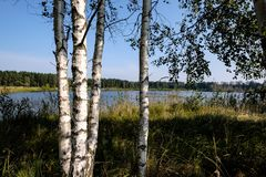 Birch tree trunk texture in direct sunlight. In a bright summer day with sun shining through the leaves. landscape shadows in foreground royalty free stock images