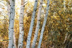 Birch tree trunk texture in direct sunlight - vintage autumn loo. Birch tree trunk texture in direct sunlight in a bright summer day with sun shining through the royalty free stock image