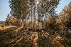 Birch tree trunk texture in direct sunlight - vintage autumn loo. Birch tree trunk texture in direct sunlight in a bright summer day with sun shining through the stock images