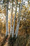 Birch tree trunk texture in direct sunlight - vintage autumn loo. Birch tree trunk texture in direct sunlight in a bright summer day with sun shining through the stock photos