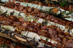 Birch tree trunks Royalty Free Stock Photography