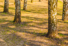 Birch tree trunks Royalty Free Stock Photo