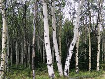 Birch tree trunks in the Alberta Rocky Mountains Royalty Free Stock Image