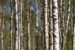 Birch tree trunks Royalty Free Stock Images