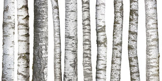 Birch tree trunks on white Stock Photography