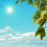 Birch tree under bright summer sun Royalty Free Stock Image